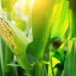 Gemüsegarten mit Mais