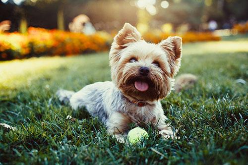 Haustier Hund spielt in Garten mit Ball