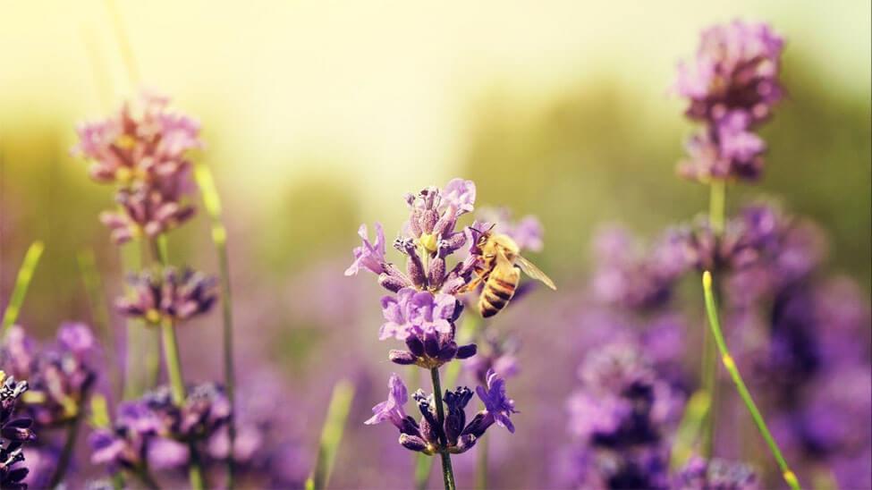 Biene auf bienenfreundliche Pflanze im Garten