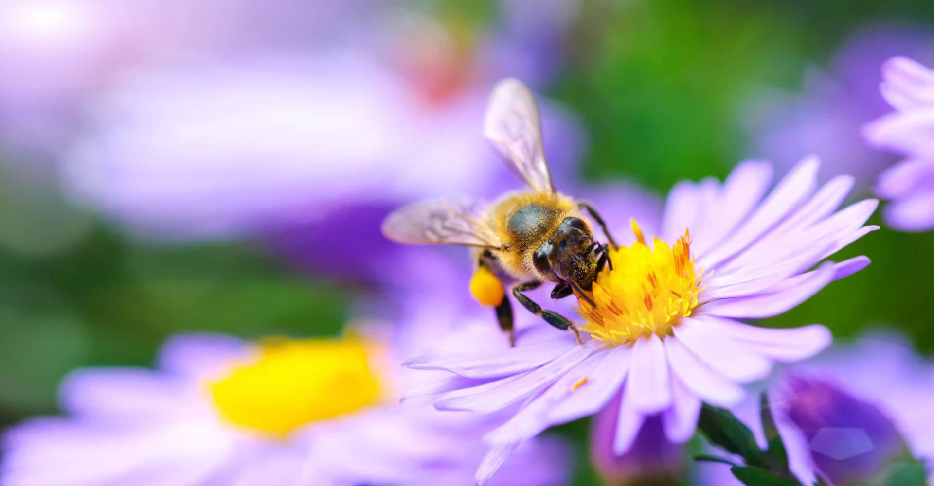 Biene auf bienenfreundliche Pflanze