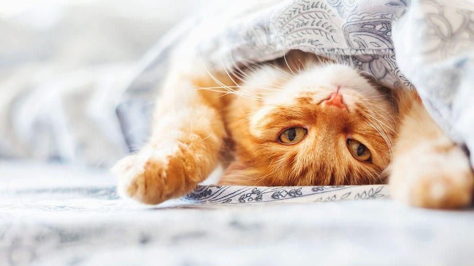 Gut erzogene Katze schläft im Bett