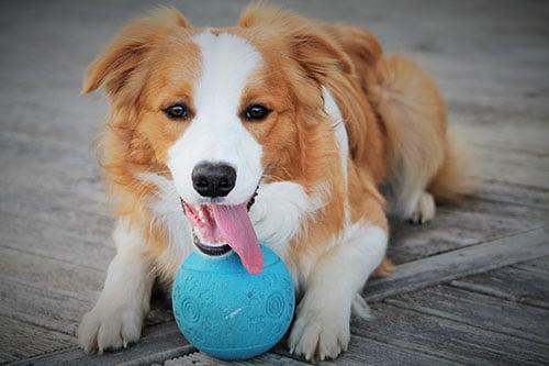 Hund mit Ball als Spielzeug