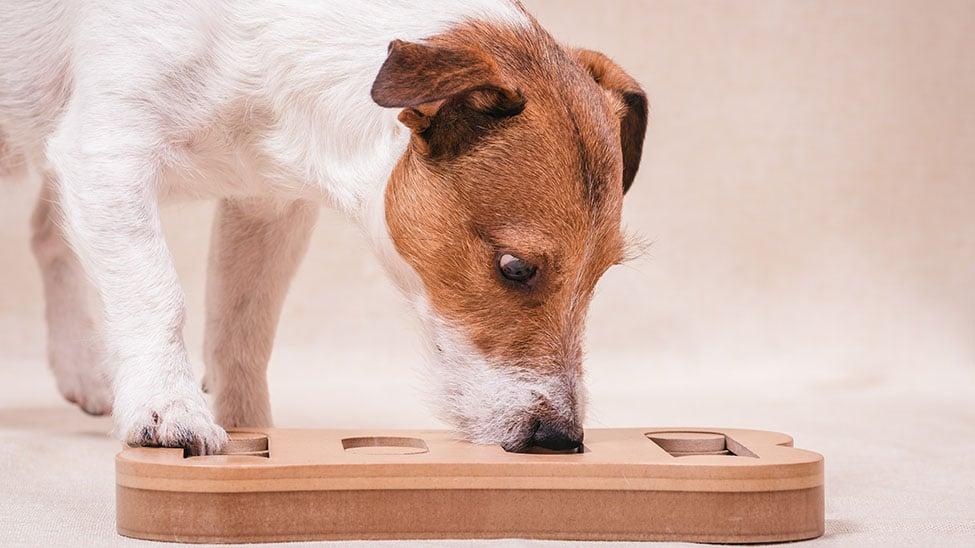 Hund mit Intelligentsspielzeug
