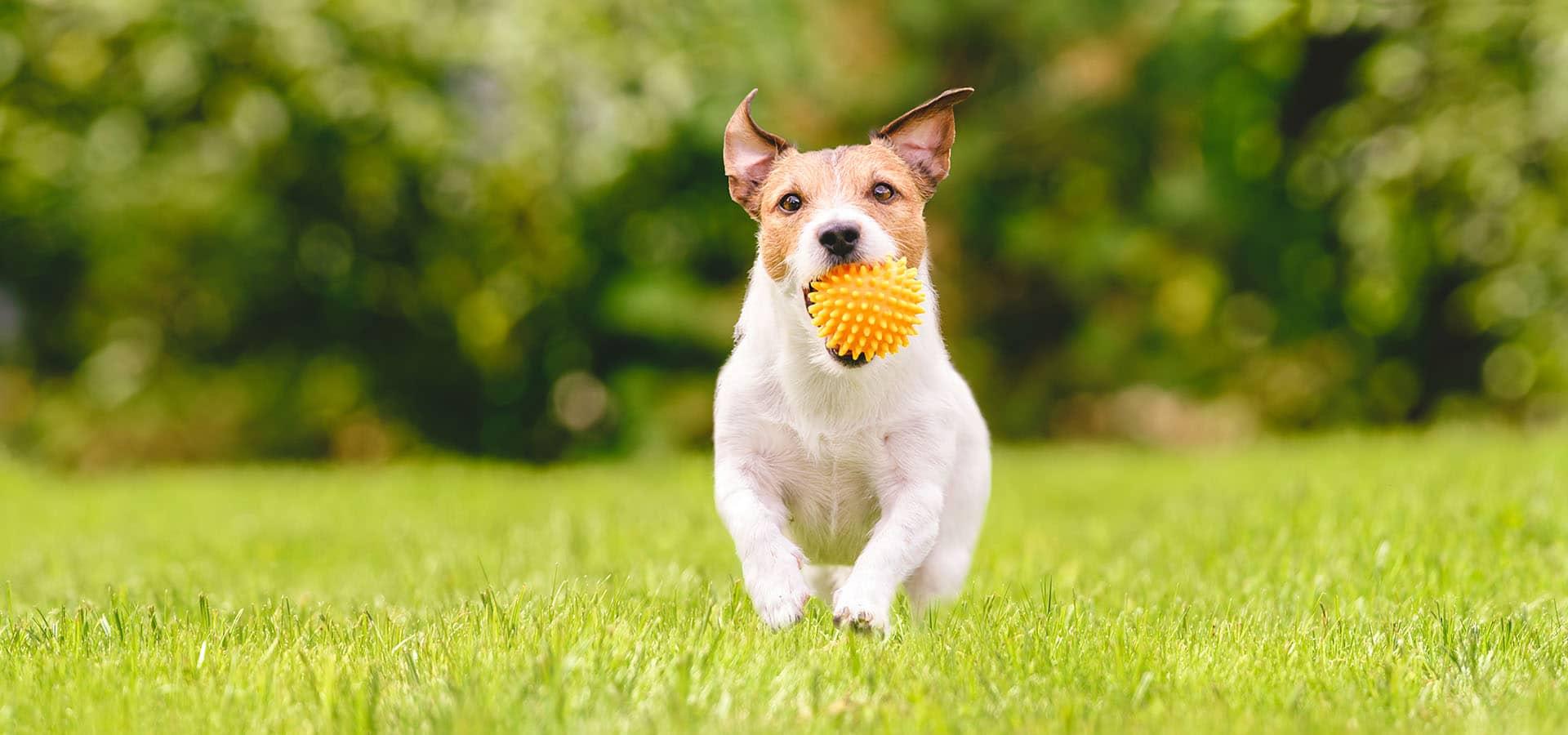 Hund mit Spielzeug im Maul laufend