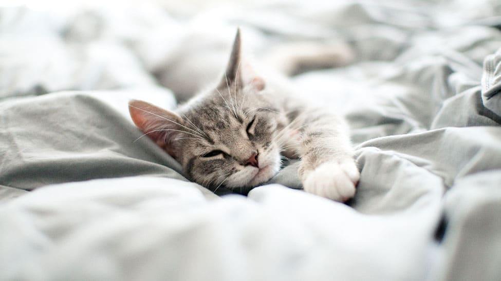 Katze schläft im Bett