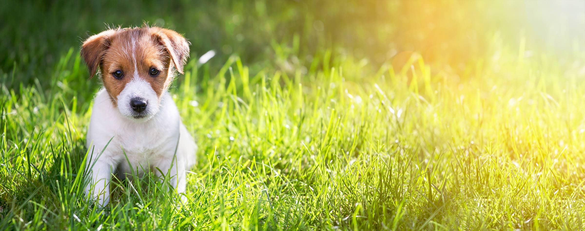 Stubenreiner Welpe macht Geschäft draußen auf Rasen