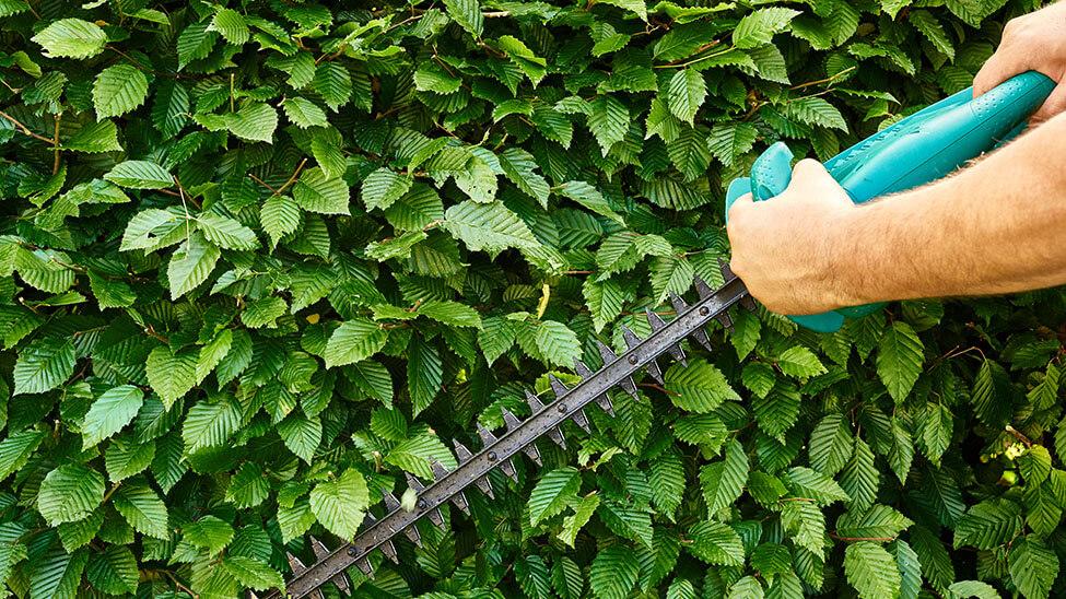 Mann stutzt Hecke mit Akku-Grasschere